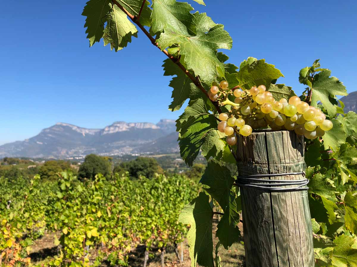 Grapes, Savoie Wine Region, France