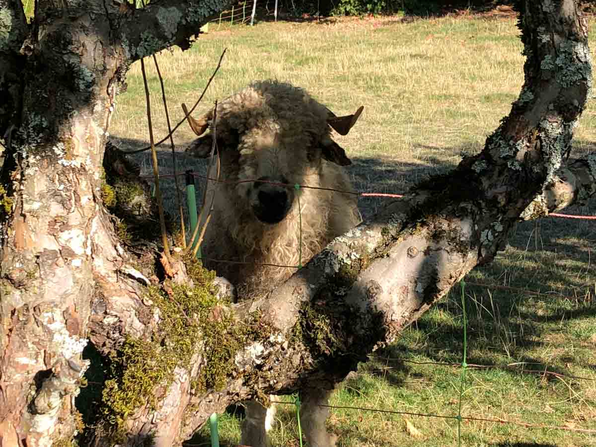 Sheep, Chateau de Menthon, Savoie Wine Region, France